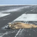 Pilots warned of 'low sealings' at Utqiagvik airport Seal Sunbathing on the Runway