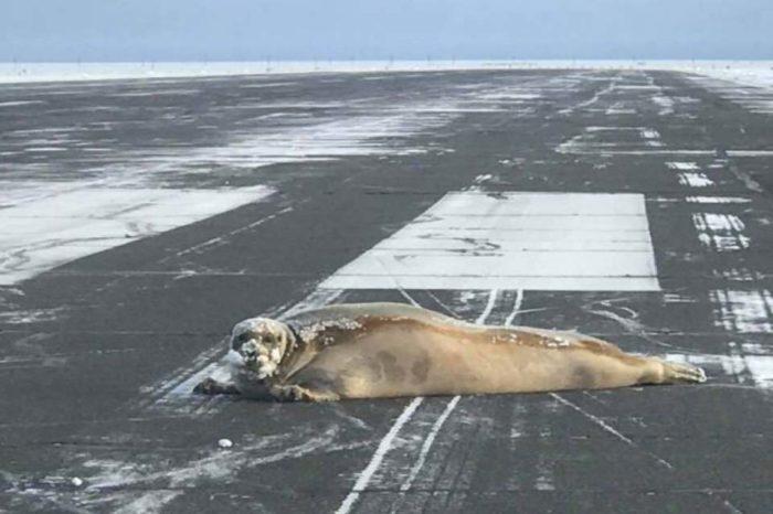 Pilots warned of 'low sealings' at Utqiagvik airport Seal Sunbathing on the Runway